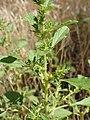 Amaranthus albus kz02.jpg
