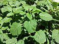 Amaranthus blitum subsp. blitum sl2.jpg