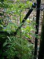 Ambrosia artemisiifolia002.jpg