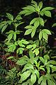 Ambrosia trifida 1120010.jpg