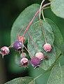 Amelanchier lamarckii B.jpg