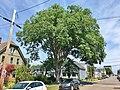 American Elm Tree, Charlottetown, PEI - August 2019.jpg