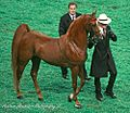American Saddlebred (3008085546).jpg