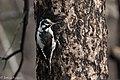American Three-toed Woodpecker Signal Burn Gila NF NM 2017-10-18 09-03-01 (38363884944).jpg