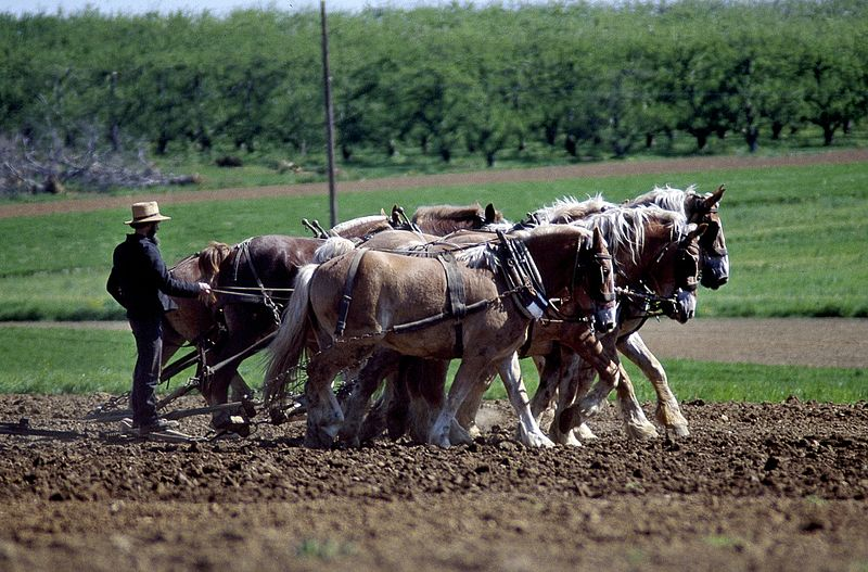 File:Amish farmer and his team of draft horses 16027v.jpg