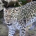 Amur Leopard 8 (5017697177).jpg
