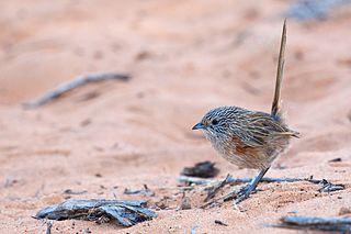 Western grasswren Species of bird