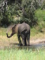 An elephant in chobe national park, botswana.jpg