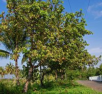 Jambu Monyet Wikipedia Bahasa Indonesia Ensiklopedia Bebas
