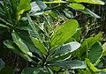 Anacardium excelsum 1.jpg