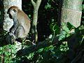 Anak monyet.jpg