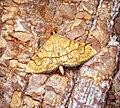 Anania verbascalis (36953684255).jpg