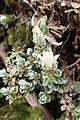 Anaphalioides alpina kz1.jpg