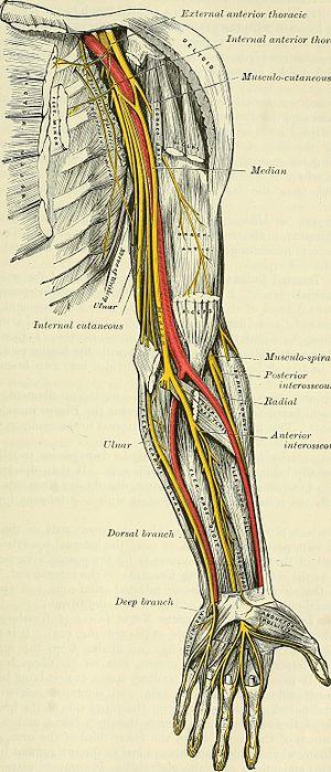 Anatomy of the human arm