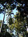 Ancient palm trees at museu da repblica Rio de Janeiro.jpg