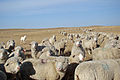 Anderson Sheep-a.jpg