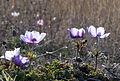 Anemone coronaria - Popy anemones 08.jpg