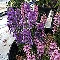 Angelonia angustifolia public domain IMG 5093.jpg