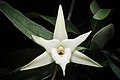Angraecum sesquipedale Thouars, Hist. Orchid.- 66 (1822) (24501270757).jpg
