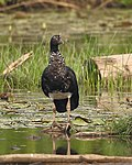 Anhima cornuta - Horned screamer.jpg