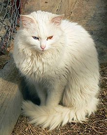 Fluffiest Cat Breed