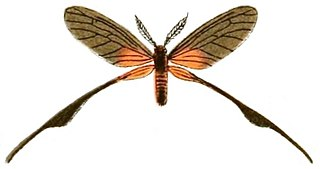 Himantopteridae family of insects