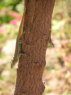 Anolis gingivinus on tree trunk.jpg
