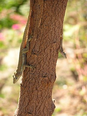 Description de l'image Anolis gingivinus on tree trunk.jpg.