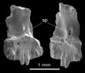 Anoualerpeton unicus holotype premaxilla.png