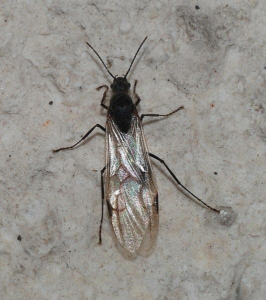 Männliche Ameise in der Schwarmzeit