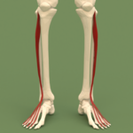 Anterior compartment of leg - Extensor digitorum longus.png