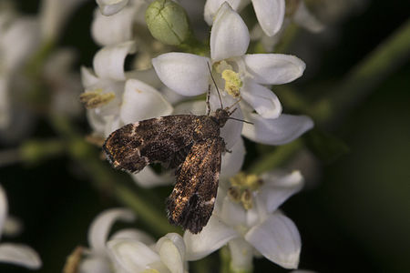 Anthophila fabriciana, Lodz(Poland)01(js).jpg