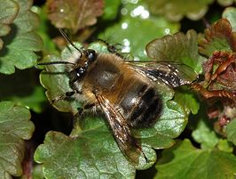 Anthophora acervorum