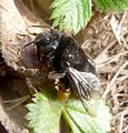 Anthophora plumipies. female - Flickr - gailhampshire.jpg