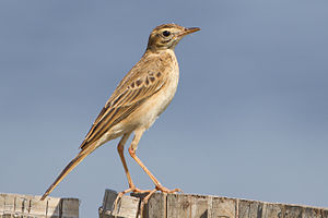 Richard's pipit - In Thailand