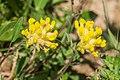 Anthyllis vulneraria in Taninges (1).jpg