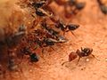 Ants cleaning up (2924057236).jpg