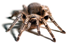 Aphonopelma seemanni front view.jpg