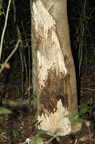 tronc de l'aquilaria crassna
