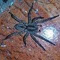 Araña en la plata.jpg