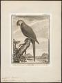 Ara militaris - 1700-1880 - Print - Iconographia Zoologica - Special Collections University of Amsterdam - UBA01 IZ18500113.tif