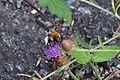 Araignées, insectes et fleurs de la forêt de Moulière (Les Chirons Noirs) (28968058521).jpg