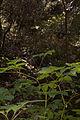 Aralia californica (4229764748).jpg