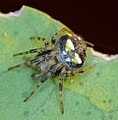 Araneus albotriangulus 1.jpg