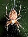 Araneus diadematus P1050742a.jpg