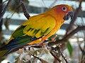 Aratinga solstitialis -Hagenbeck Zoo-6a.jpg