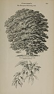 Arboretum et fruticetum britannicum, or - The trees and shrubs of Britain, native and foreign, hardy and half-hardy, pictorially and botanically delineated, and scientifically and popularly described (14783706032).jpg