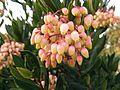 Arbutus unedo flowers.jpg