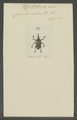 Archarias - Print - Iconographia Zoologica - Special Collections University of Amsterdam - UBAINV0274 030 03 0011.tif
