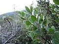 Arctostaphylos sensitiva 2 - Flickr - theforestprimeval.jpg